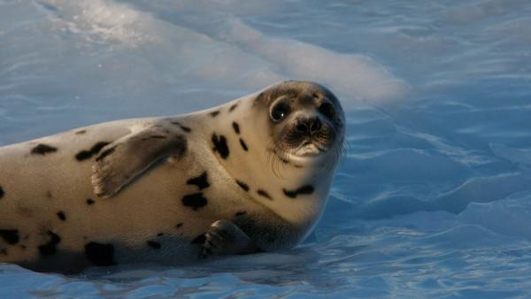 В Архангельске начнут добывать тюленя. животные, тюлени, гренландский тюлень, Архангельск