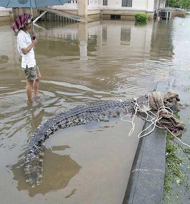 Крокодилы обосновались на улицах Таунсвилла. 14683.jpeg