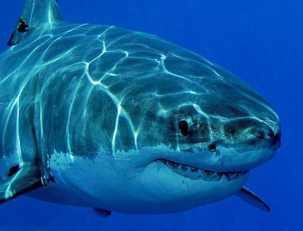 Австралиец спас серфера от акулы с помощью дрона. рыба, акула, серфер, дрон, Австралия