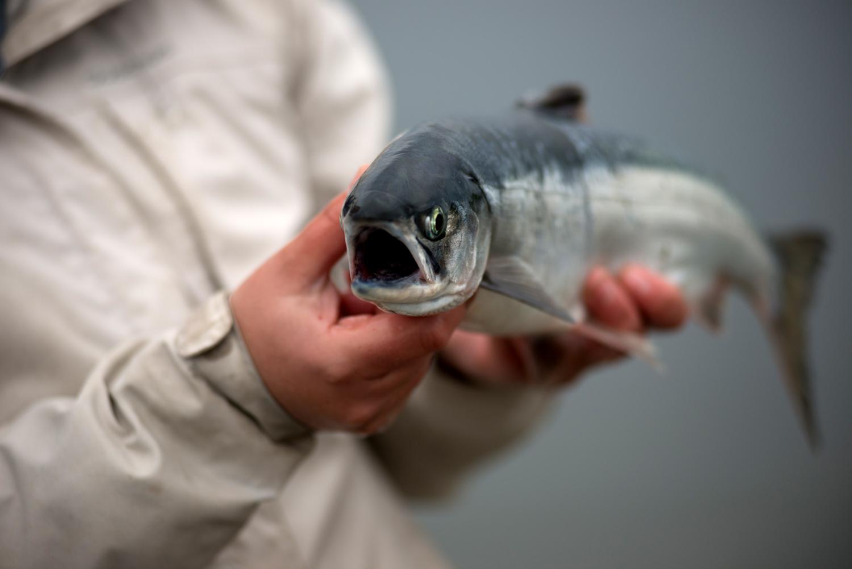 Магаданскую рыбу поразил анизакидоз. 15686.jpeg