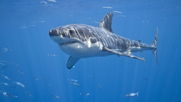 Рыбак спас акулу-людоеда отгибели. рыба, акула, Канада