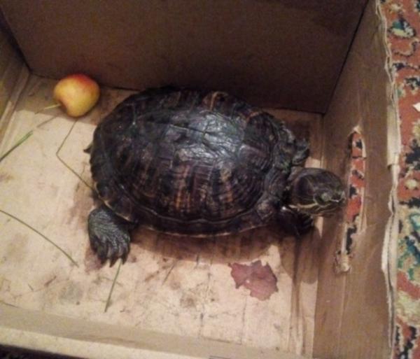Наскучила: живую хищную черепаху выбросили в мусорку. животные, домашние животные, домашние питомцы, черепаха