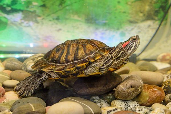 Красноухих черепах из фонтана в Красногорске отправили на зимовку. животные, домашние животные, красноухая черепаха, Красногорск