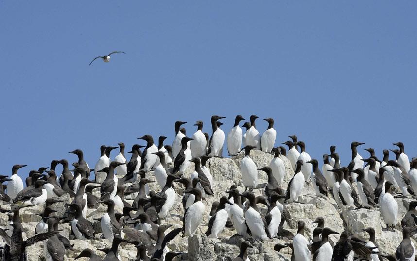 В Северном море по загадочной причине умирает 20 тысяч кайр. 14710.jpeg