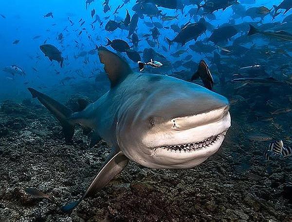 Морской бык. Бычья акула и её скверный характер. 15721.jpeg