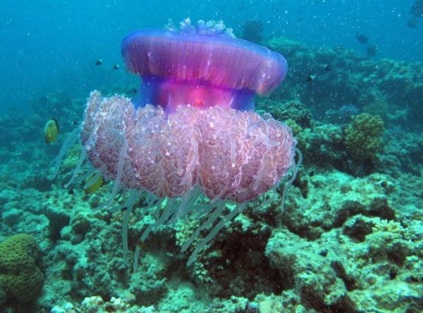 Эксперты ООН озаботились неконтролируемым размножением медуз. ученые, медузы, размножение, глобальное потепление, ООН