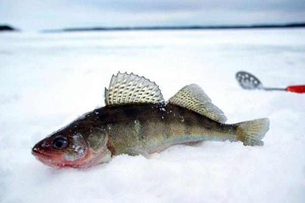 Особенности лова судака зимой.. 14728.jpeg