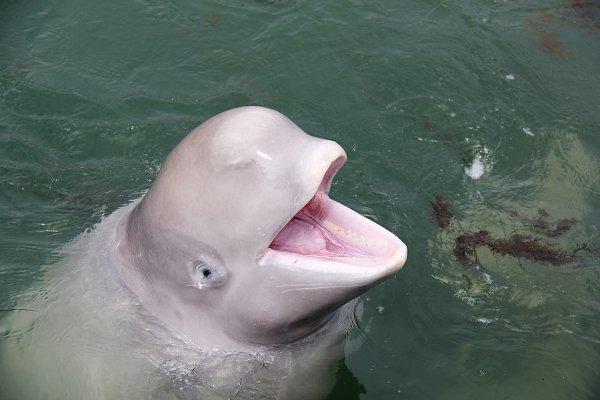 Белуха из Крымского дельфинария научилась общаться с дельфинами. 14729.jpeg
