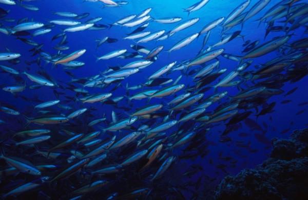 Севастопольские ученые обнаружили жизнь в считавшемся необитаемым слое Черного моря. ученые, биологи, рыбы, медузы, шпроты и мерланга, Черное море, Институт биологии южных морей РАН