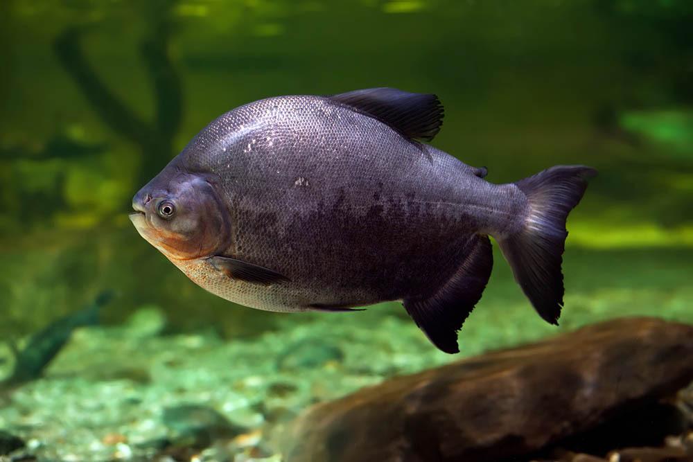Пираньи-вегетарианцы - удивительные рыбы из Амазонии.. 14754.jpeg