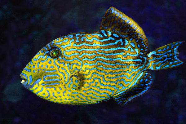Многоликая рыба: мимикрия в морских водах.. 14760.jpeg