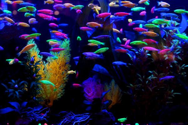 Флуоресцентные рыбы - адаптация для конкуренции за самок.. 14761.jpeg