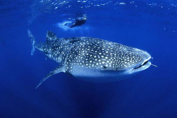 Китовые акулы иногда становятся вегетарианцами. 14762.jpeg
