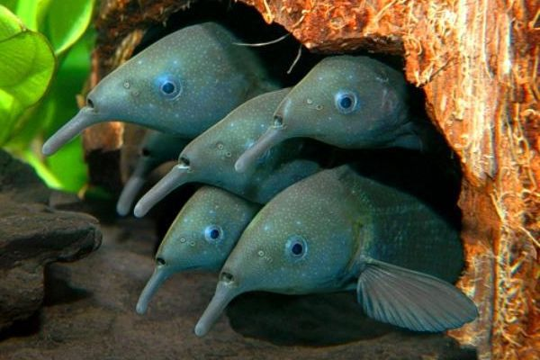 Два семейства рыб развили электрические силы в ходе эволюции. 14770.jpeg