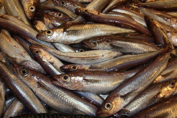 Тюлька-опасная рыба?. 15770.jpeg