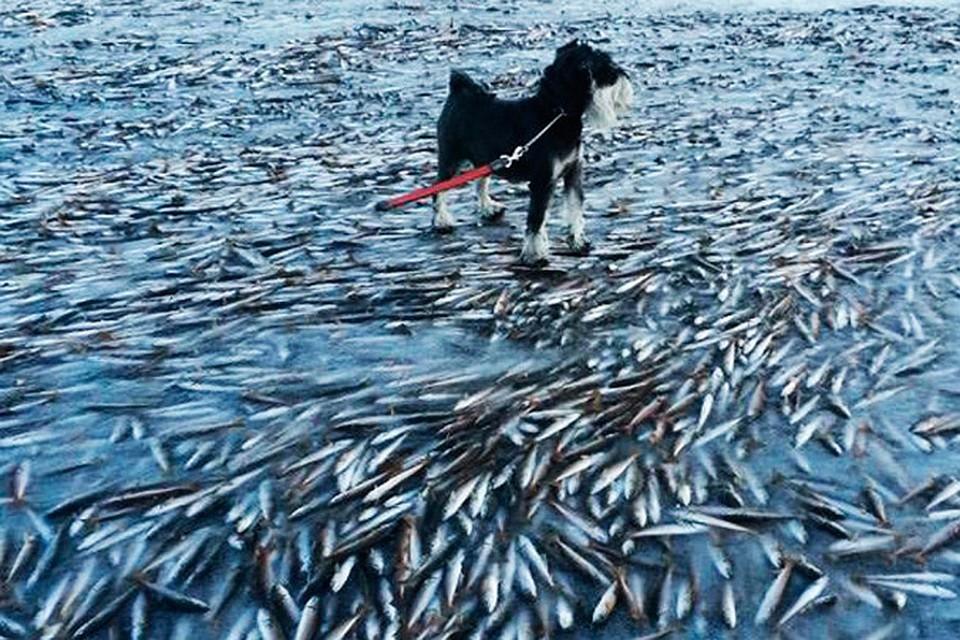 Необычный мор рыбы случился в Брянске. 14777.jpeg
