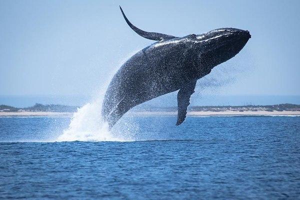 Рыбак запрыгнул на спину метущегося кита, чтобы спасти его жизнь. 13781.jpeg