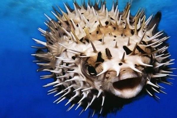 ТОП 10 самых ядовитых в мире рыб. 15782.jpeg