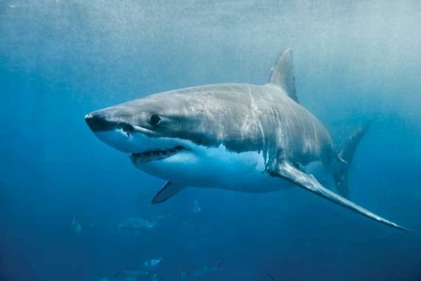 Насколько опасна белая акула?. 15787.jpeg