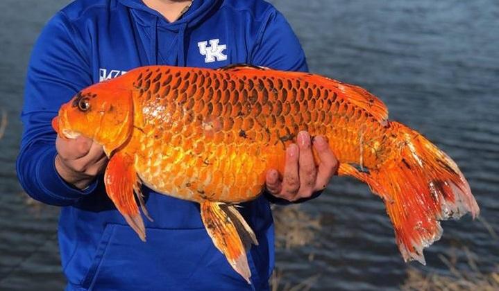 Американец поймал 10-килограммовую золотую рыбку. 14797.jpeg