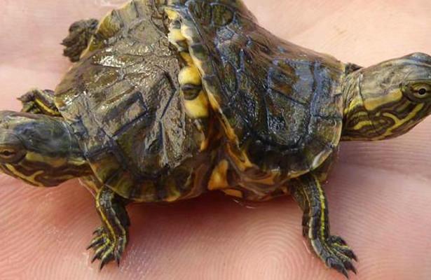 Рыбак нашел двухголовую черепаху. 13803.jpeg