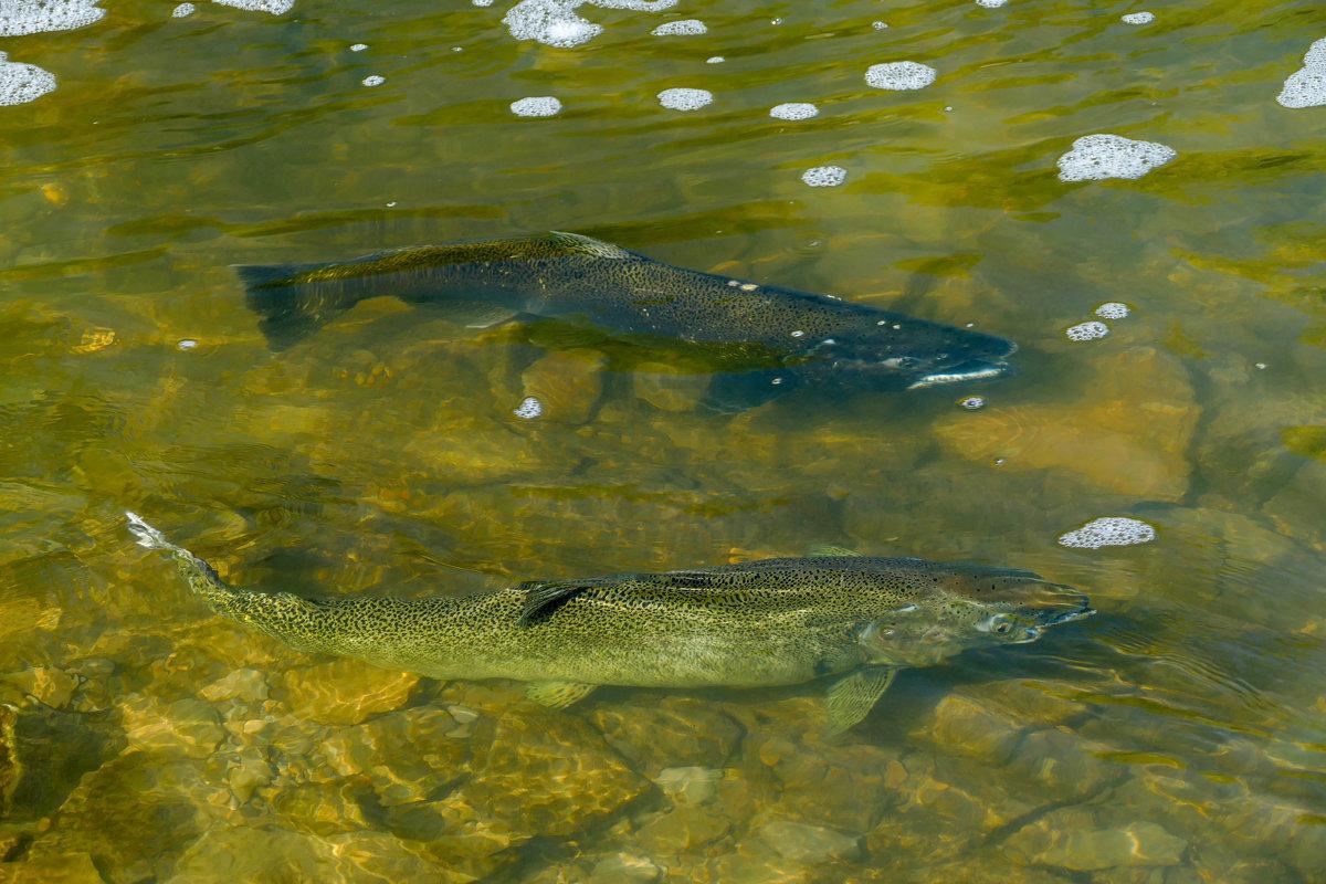 Новосибирцы помогли рыбе отложить икру. 15803.jpeg