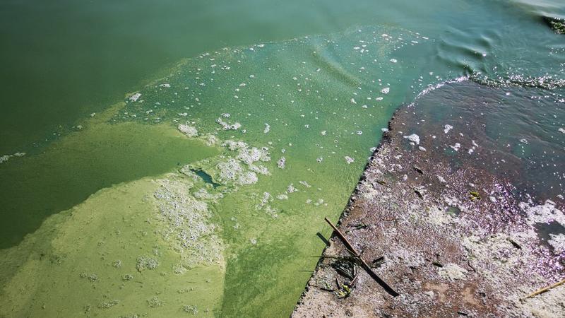 В Финском заливе гибнут рыба и тюлени. 15804.jpeg