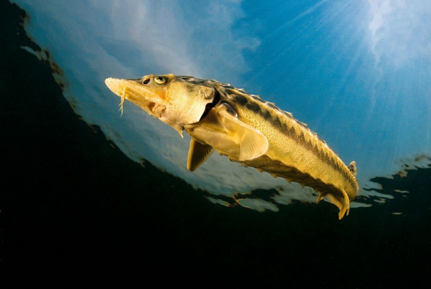 Браконьер ловил «краснокнижную» рыбу. 15807.jpeg