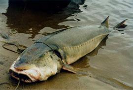 У четы браконьеров изъяли 122 кг калуги. 15819.jpeg
