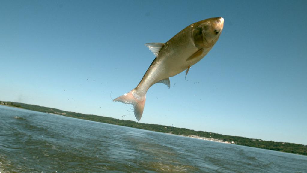 Блоггеры сняли на камеру летучую рыбу Иллинойса. 14831.jpeg
