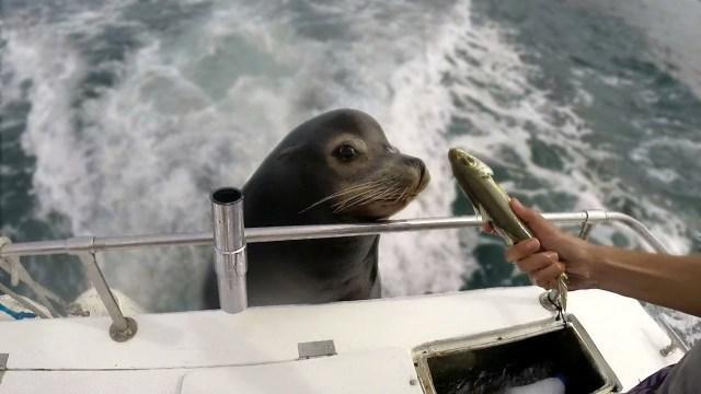 Морской лев попрошайничает рыбу у рыбаков. 14858.jpeg
