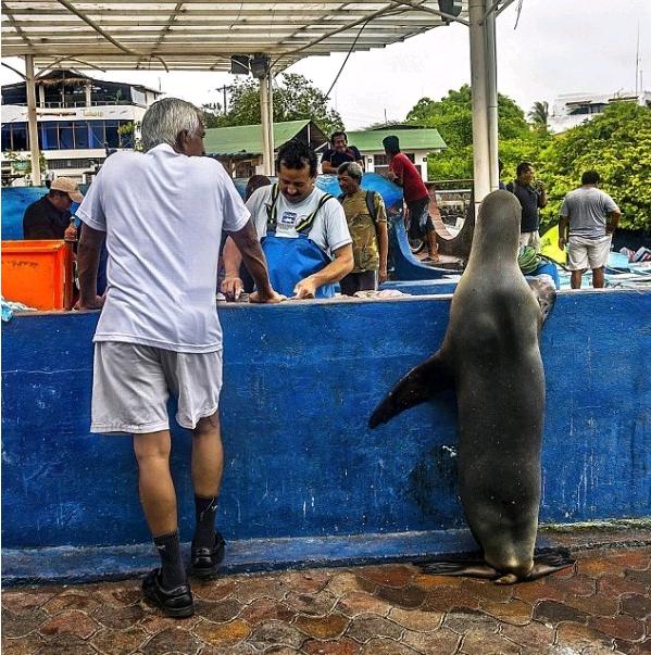Морской лев попрошайничает рыбу у рыбаков. 14860.png