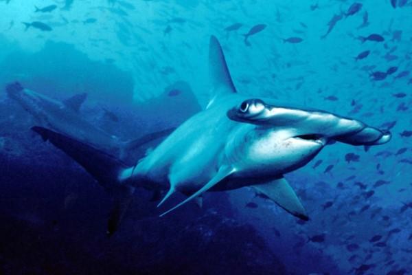 Зачем акуле-молот нужен молот?. 15879.jpeg