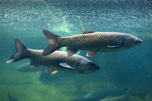 Ядовитые рыбы России.. 13894.jpeg