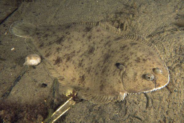 Интересная рыбка - морской язык. 14898.jpeg