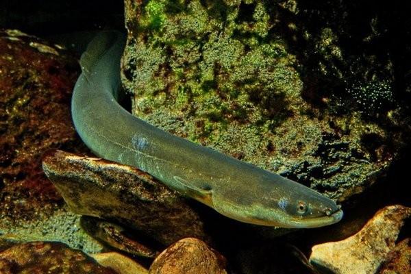 Змеевидные рыбы. Обитатели рек, озер и морей - угри.. 13903.jpeg
