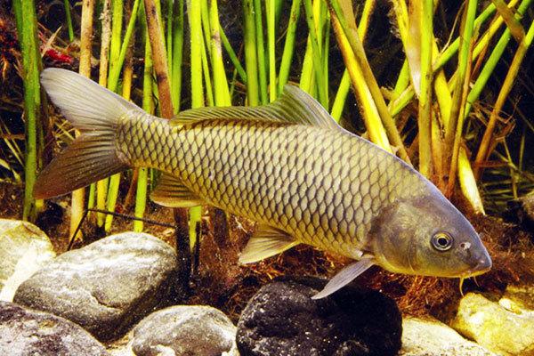 Инфекционные болезни, которыми болеют рыбы. 13904.jpeg