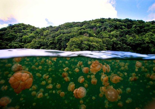 Fofoi показал мир золотых медуз. 14904.jpeg