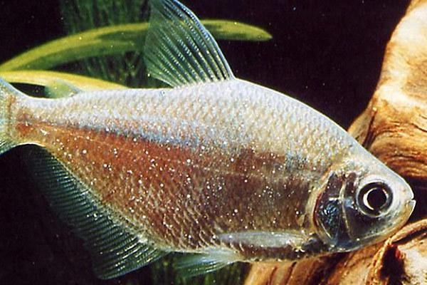 Некоторые виды инвазионных болезней рыб. 13905.jpeg