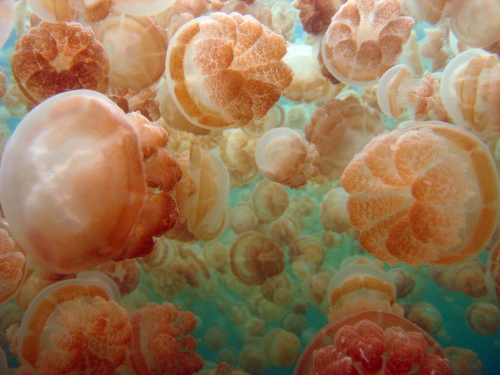 Fofoi показал мир золотых медуз. 14907.jpeg