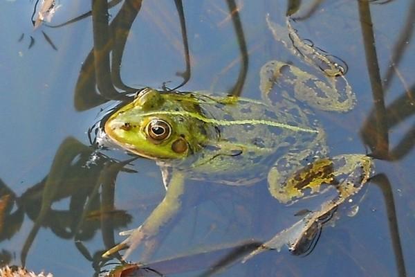 Удивительная лягушка озера Титикака.. 13908.jpeg
