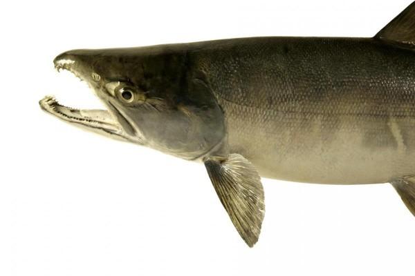 Что нужно знать о рыбе кета. 15915.jpeg