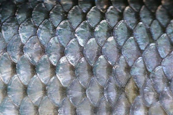 Ученые нашли чешую древней рыбы. 13921.jpeg