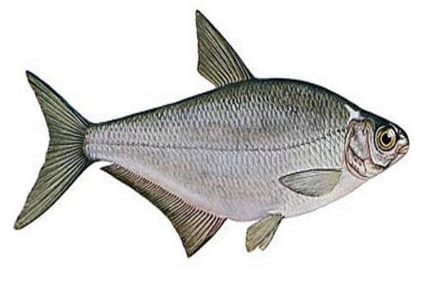 Белогзлазка или глазач. Все  о рыбе.. 15925.jpeg