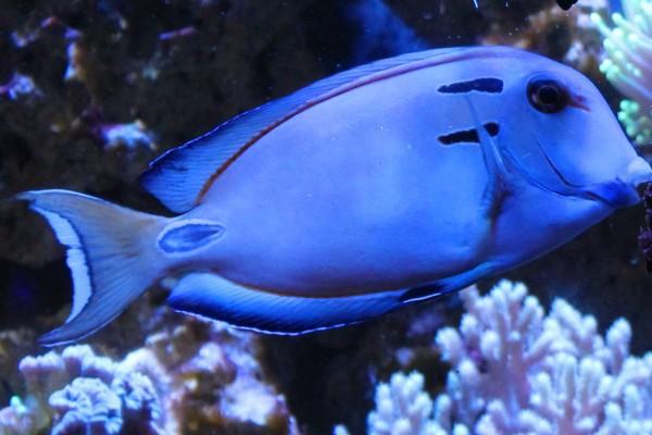 Королевская рыба. 15932.jpeg