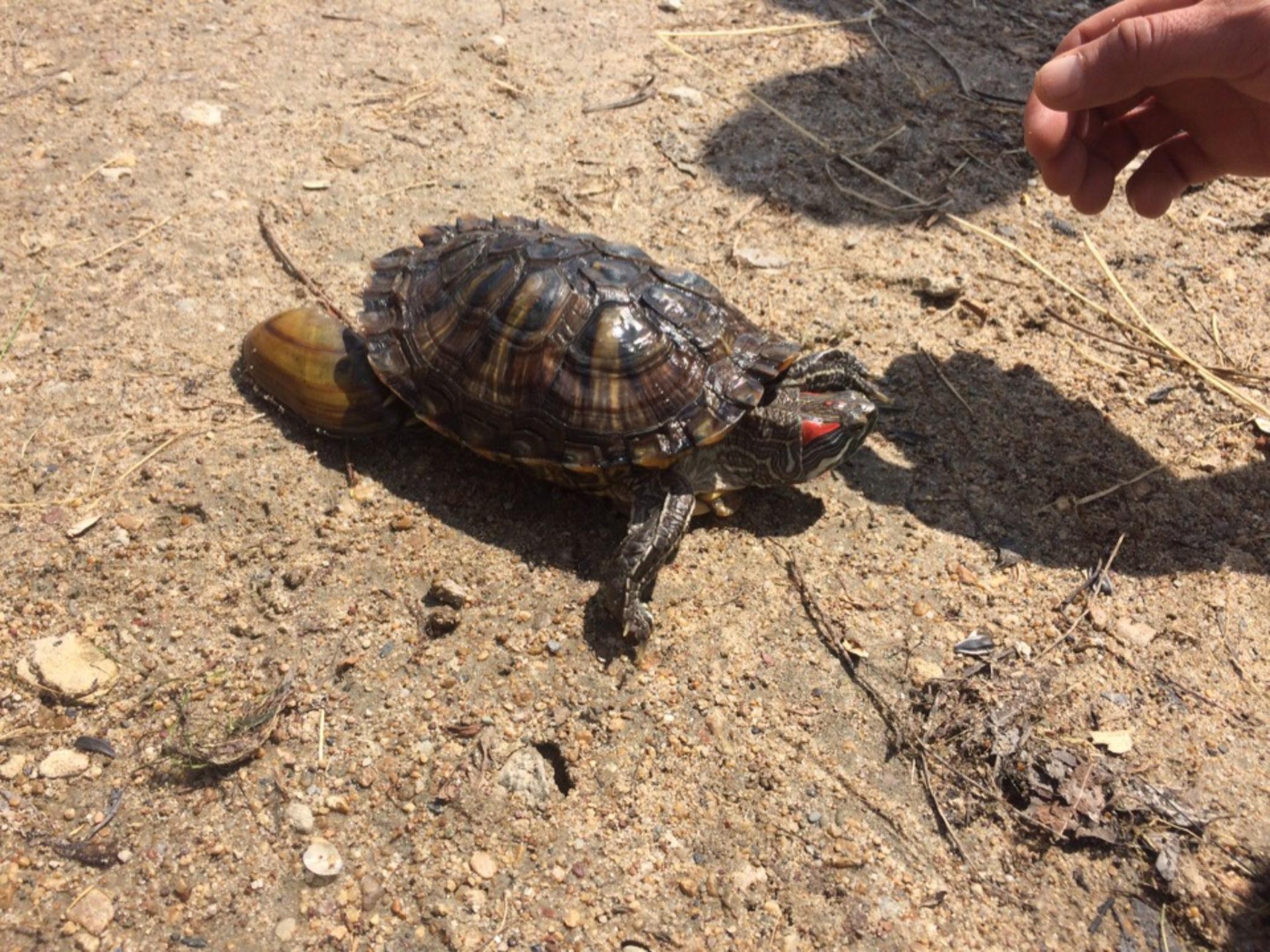 В Иртыше поймали экзотическую черепаху. 15946.jpeg
