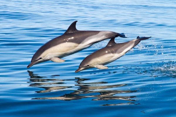 Морские ангелы-хранители людей - дельфины. 13947.jpeg