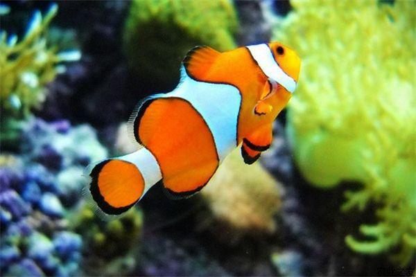 Рыба-клоун. 13959.jpeg