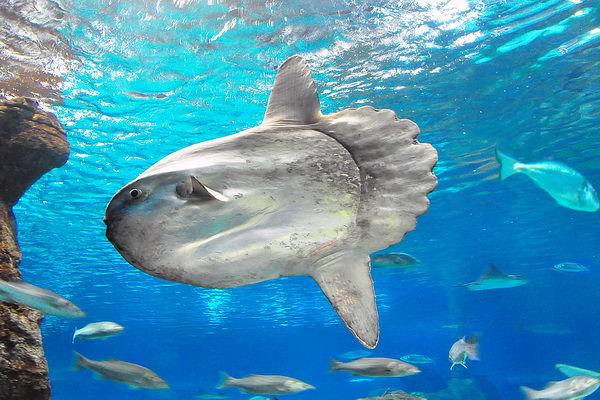 Родственница фугу - рыба-луна. 13960.jpeg