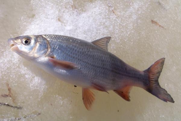 Смелая рыба - рыбаку подарок. 13963.jpeg